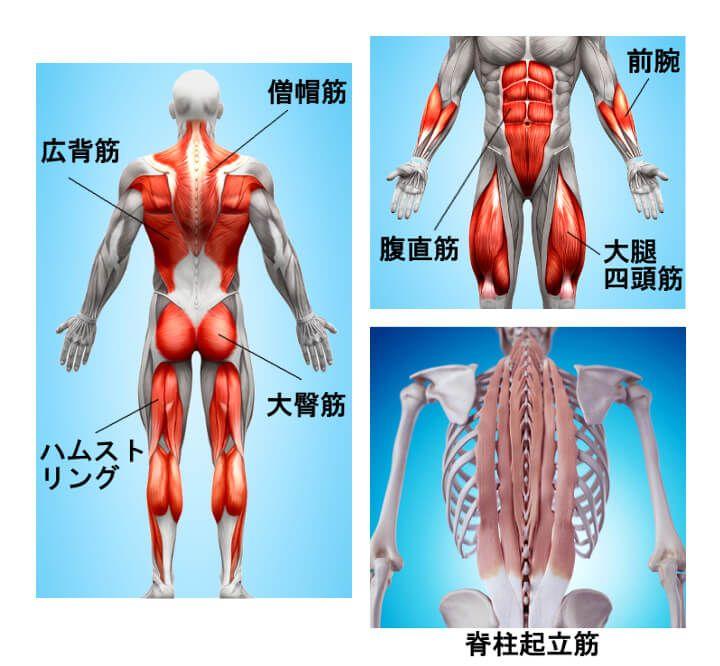デッドリフトは「広範囲の筋肉を刺激する」